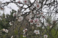 The beautiful Almond in farmland royalty free stock photography