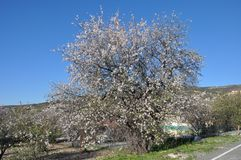 The beautiful Almond in farmland royalty free stock images