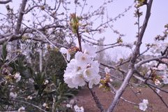 The beautiful Almond in farmland.  royalty free stock images