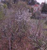 The beautiful Almond in farmland.  stock image