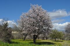 The beautiful Almond in farmland.  stock photography