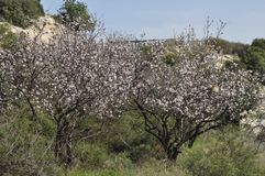 The beautiful Almond in farmland.  stock images
