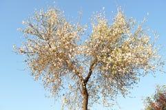 The beautiful Almond in farmland.  royalty free stock image