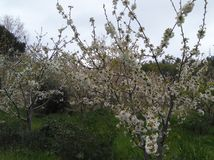 The beautiful Almond in farmland.  royalty free stock photography