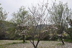 The beautiful Almond in farmland royalty free stock photos