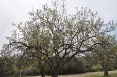 The beautiful Almond in farmland stock images