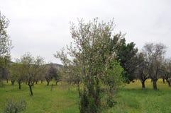 The beautiful Almond in farmland royalty free stock photo