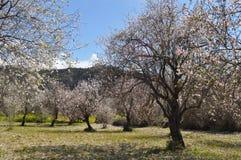 The beautiful Almond in farmland stock photos