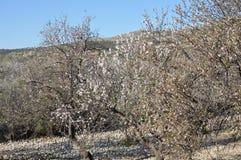 The beautiful Almond in farmland stock photo