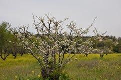 The beautiful Almond in farmland.  royalty free stock photo
