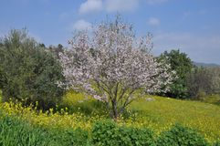 The beautiful Almond in farmland.  stock photos