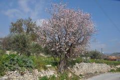 The beautiful Almond in farmland.  stock photo