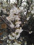 The beautiful Almond in farmland.  royalty free stock photos