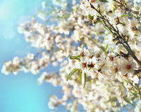 Beautiful almond flower sunny spring blossom. Almonds flowers on tree with blurred bokeh effect. Spring time beautiful weather outside. Tender sweet white pink Royalty Free Stock Image