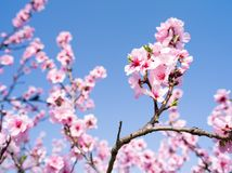 Beautiful almond flowers in full bloom during spring royalty free stock images