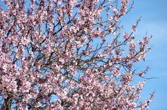 Beautiful almond flowers Stock Photography