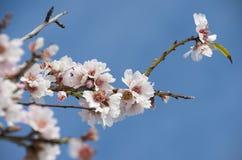 Beautiful almond flowers Stock Photos