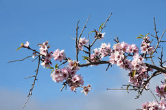 Beautiful almond flowers Stock Images