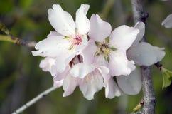 Beautiful almond flowers Royalty Free Stock Photo