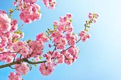 Pink spring tree flowers. Beautiful almond tree flowers against blue sky Prunus triloba stock images