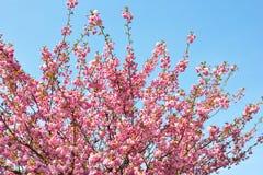 Pink spring tree flowers. Beautiful almond tree flowers against blue sky Prunus triloba stock photography