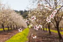 Beautiful almond tree flowers in the spring Royalty Free Stock Images
