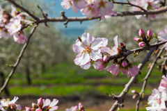 Beautiful almond tree flowers in the spring Royalty Free Stock Image