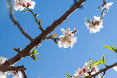 Beautiful almond tree flowers in the spring Royalty Free Stock Photography