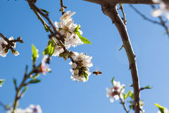 Beautiful almond tree flowers in the spring Stock Image