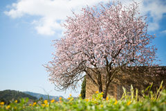 Beautiful almond tree in spanish landscape in Majorca, Royalty Free Stock Photos