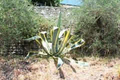 Beautiful aloe vera plant Stock Photography