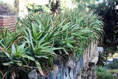 Beautiful aloe vera plants Royalty Free Stock Photography