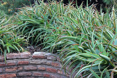 Beautiful aloe vera plants Stock Images