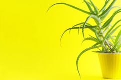 Beautiful aloe vera in yellow flower pot against yellow background,empty space,minimal natural composition royalty free stock photography