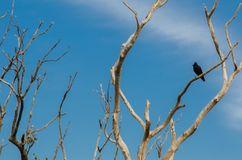 Beautiful Alone black jungle crow bird perched on a dry leafless twig isolated on blue sky background. A Beautiful Alone black jungle crow bird perched on a dry royalty free stock images