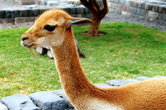 Beautiful Alpaca Stock Photography