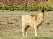 Beautiful alpaca in altiplano Andes royalty free stock image