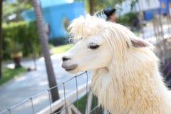 Beautiful alpaca. Royalty Free Stock Image