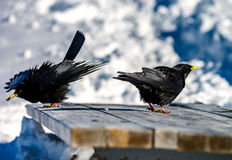 Beautiful alpine chough on white snow bachkgound in high mountai Royalty Free Stock Photos