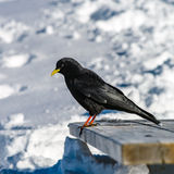 Beautiful alpine chough on white snow bachkgound in high mountai Stock Photography
