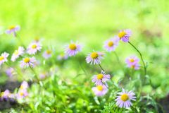Free Beautiful Alpine Daisies , Asters In Summer In A Flower Bed On A Green Background. Violet-lavender Alpine Aster Flowering Royalty Free Stock Image - 144254526