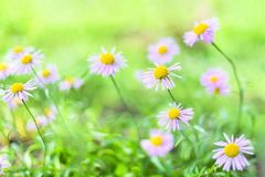 Beautiful Alpine daisies , asters in summer in a flower bed on a green background. Violet-lavender Alpine aster flowering stock photo