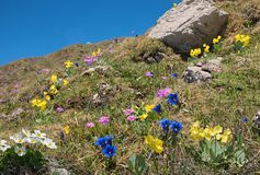Beautiful alpine flora with blue gentian, pink primrose and auriculas - protected wildflowers royalty free stock photo