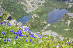 Beautiful alpine flowers on the background of Stock Photo