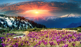 Beautiful alpine flowers. Spring snow melt and in the Carpathian valleys grow beautiful alpine flowers, crocus, crocuses, they are also Geyfelya, they also Stock Photos