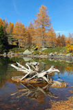 Beautiful alpine lake in autumn. Dead pine tree root in the middle of an alpine lake . Autumn colors Royalty Free Stock Photography