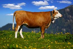 Beautiful Alpine landscape with cow. Royalty Free Stock Images