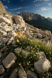 Beautiful alpine scenery. (Dolomites, Italy) - tiny yellow flowers in the foreground, dramatic sky, warm evening light make for the beauty of this image Stock Images
