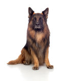 Beautiful alsatian Stock Images