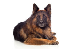 Beautiful alsatian Royalty Free Stock Images